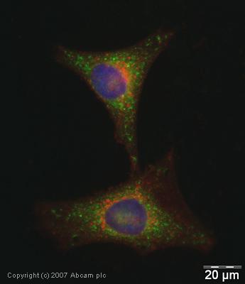 Immunocytochemistry/ Immunofluorescence - Anti-Glutathione Peroxidase 4 antibody (ab41787)
