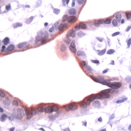 Immunohistochemistry (Formalin/PFA-fixed paraffin-embedded sections) - Anti-Annexin A1 antibody - N-terminal, prediluted (ab41831)