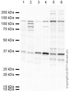 Western blot - Anti-Dact2 antibody (ab42099)