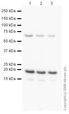 Western blot - Anti-Cofilin antibody - Loading Control (ab42475)