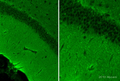 Immunohistochemistry (PFA perfusion fixed frozen sections) - Anti-Cofilin antibody - Loading Control (ab42475)