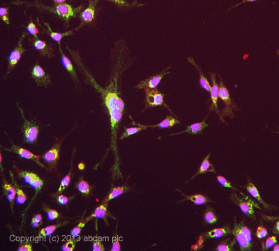 Immunocytochemistry/ Immunofluorescence - Anti-Heparanase 1 antibody (ab42817)