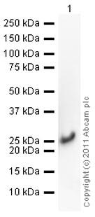 Western blot - Anti-Cofilin antibody (ab42824)