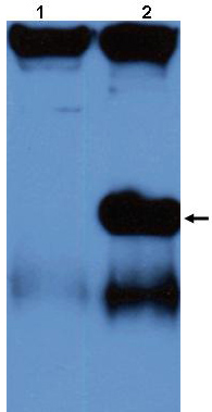 Western blot - Anti-Allergen Jun a 3 antibody (ab43663)