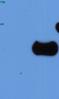 Western blot - Anti-Salusin alpha antibody (ab43740)