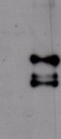 Western blot - Anti-SARS leader antibody (ab43742)