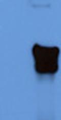Western blot - Anti- KAP1 antibody (ab43760)
