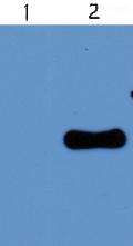 Western blot - Anti-West Nile Virus M glycoprotein antibody (ab43781)