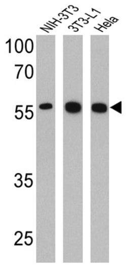 Western blot - Anti-PPAR gamma 2 antibody - ChIP Grade (ab45036)