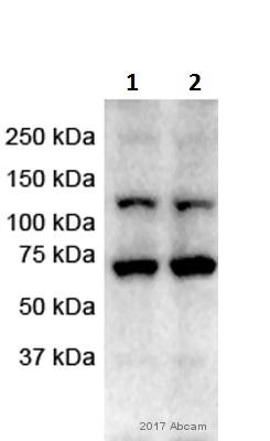 Western blot - Anti-TLR7 antibody (ab45371)