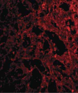 Immunocytochemistry/ Immunofluorescence - Anti-RP105 antibody (ab45430)