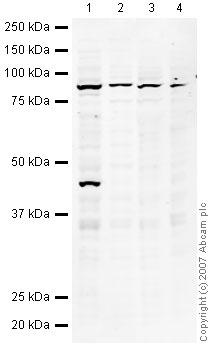 Western blot - Anti-NUP98 antibody (ab45584)