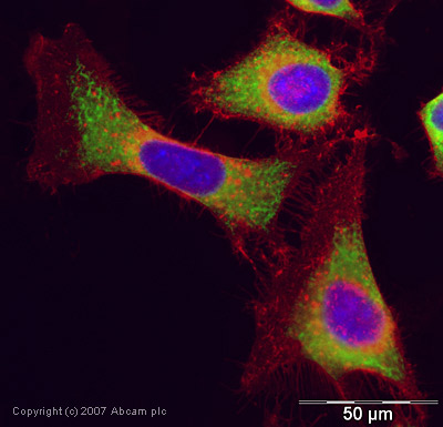 Immunocytochemistry/ Immunofluorescence - Anti-Vimentin antibody - Cytoskeleton Marker (ab45939)