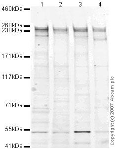 Western blot - Anti-mTOR antibody (ab45989)