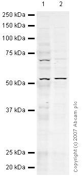 Western blot - FKBP51 antibody (ab46002)