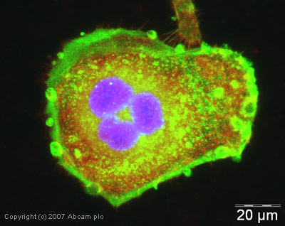 Immunocytochemistry/ Immunofluorescence - Anti-VEGFA antibody (ab46154)