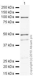 Western blot - Anti-Tryptophan Hydroxylase antibody (ab46200)