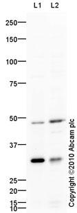 Western blot - Anti-IRX2 antibody (ab46772)
