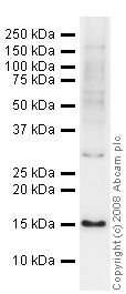 Western blot - CGRP antibody (ab47027)