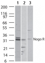 Western blot - Anti-Nogo B receptor antibody (ab47080)