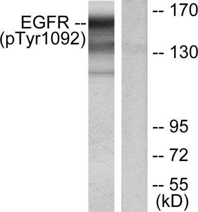 Western blot - Anti-EGFR (phospho Y1092) antibody (ab47264)
