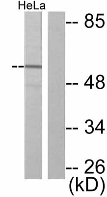 Western blot - Anti-JNK1 (phospho T183) antibody (ab47337)