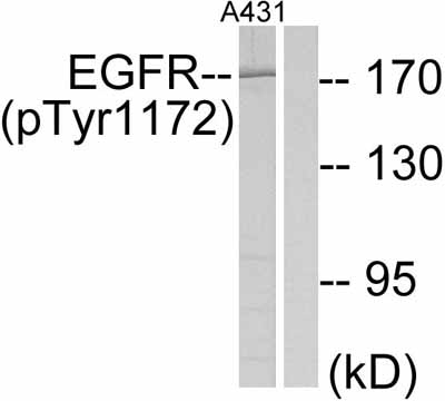 Western blot - Anti-EGFR (phospho Y1148) antibody (ab47364)