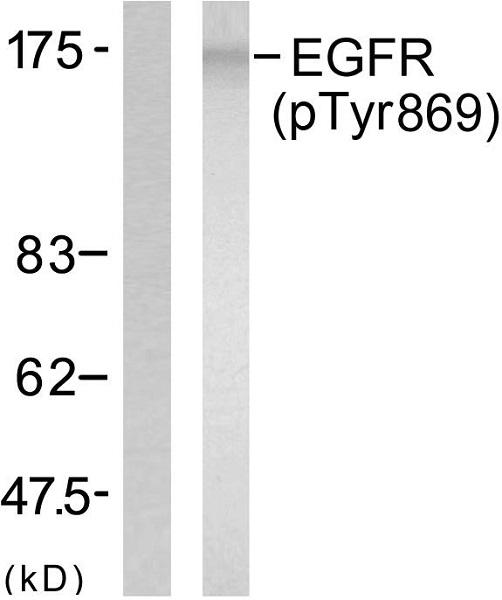Western blot - Anti-EGFR (phospho Y869) antibody (ab47397)