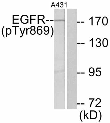 Western blot - EGFR (phospho W869) antibody (ab47397)