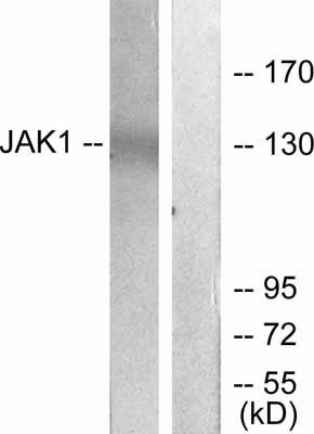 Western blot - Anti-JAK1 antibody (ab47435)