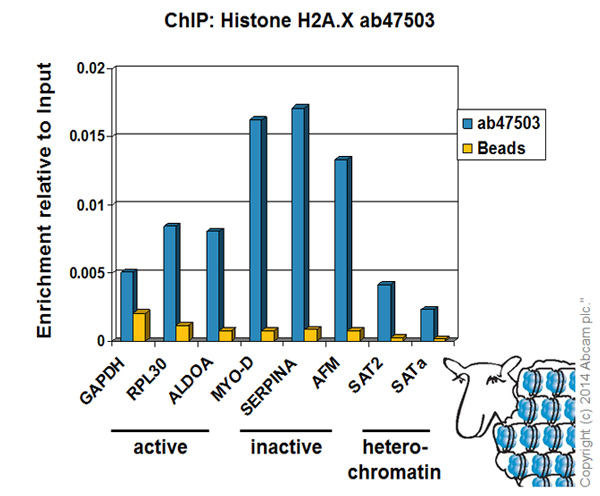 ChIP - Anti-Histone H2A.X antibody (ab47503)