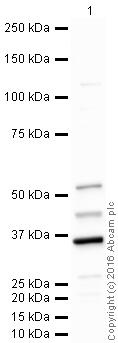 Western blot - Anti-FANCF antibody (ab47624)