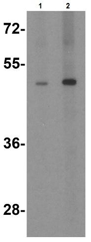Western blot - Anti-TANK antibody (ab47632)