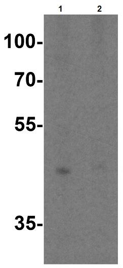 Western blot - Anti-TIM 4 antibody (ab47637)