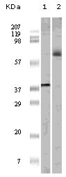 Western blot - Anti-ELK1 antibody [7E10D5] (ab47712)