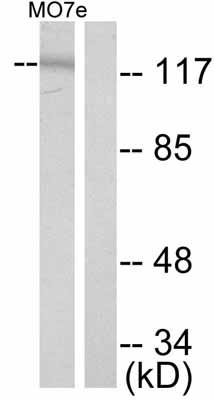 Western blot - Anti-c-Kit (phospho Y721) antibody (ab47766)