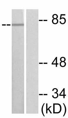 Western blot - Anti-PKC theta (phospho S676) antibody (ab47774)