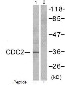 Western blot - Anti-CDK1 antibody (ab47779)