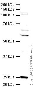 Western blot - Anti-Ctk1 antibody (ab47812)