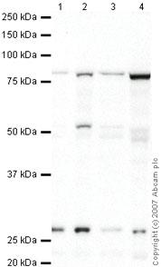 Western blot - Anti-DREF antibody (ab48355)