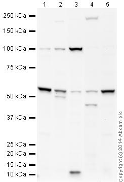 Western blot - Anti-ENT2 antibody (ab48595)
