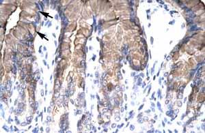 Immunohistochemistry (Formalin/PFA-fixed paraffin-embedded sections) - Anti-NUR77 antibody (ab48789)