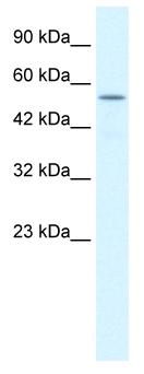 Western blot - Anti-KCNK10 antibody (ab48868)