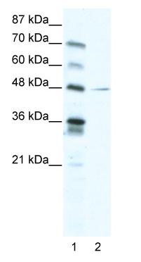 Western blot - Anti-NFIC antibody (ab48948)