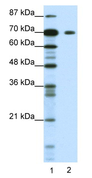 Western blot - Anti-KLHL26 antibody (ab48972)