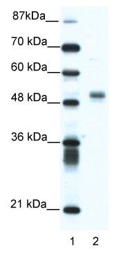 Western blot - Anti-FLI1 antibody (ab49045)