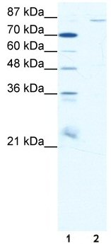 Western blot - Anti-Pyrin antibody (ab49121)