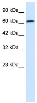 Western blot - Anti-PSIP1 antibody (ab49281)