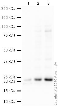 Western blot - Anti-MED30 / TRAP25 antibody (ab49456)