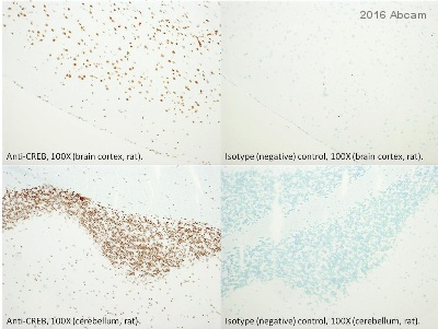 Immunohistochemistry (Frozen sections) - Anti-CREB antibody [48H2] (ab49762)